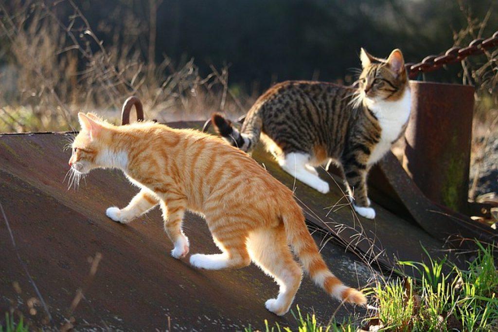 colonia de gatos