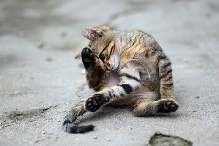 Gato con TOC