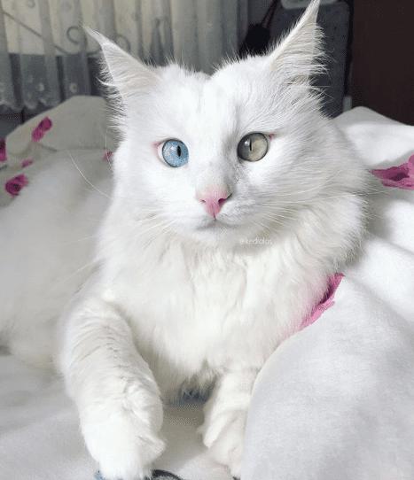gato blanco bizco