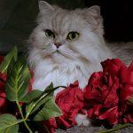 cuidados gato persa