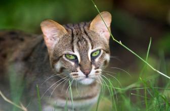 El gato Rusty. Uno de los gatos más pequeños del mundo