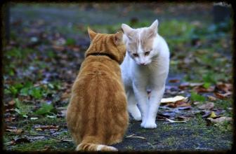 Cómo juntar dos gatos que no se conocen. Pasos que debes seguir