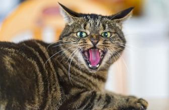 Gato agresivo con otros gatos y personas. Causas y solución