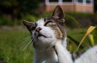 Tratamiento natural contra los ácaros en gatos