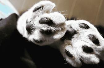 Cómo curar las almohadillas agrietadas de tu gato
