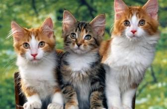 Castración y esterilización en los gatos. Consecuencias