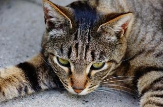 Panleucopenia felina. Causas, síntomas y tratamiento