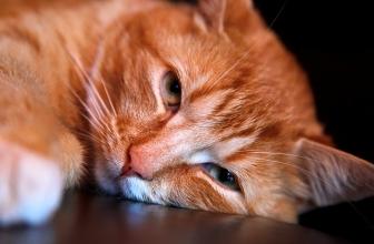 Gastritis en gatos. Causas, síntomas y tratamiento