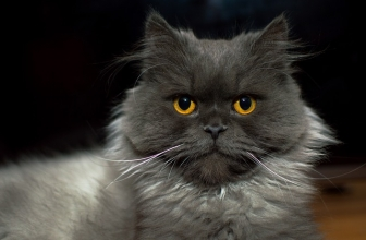 Las cinco personalidades felinas. ¿Cúal es la de tu gat@?