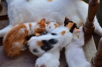 👌7 Señales para saber si tu gata está preñada