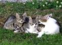 ¿Cuándo se puede esterilizar a una gata después del parto?