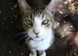 Cataratas en gatos. Lo qué debes saber