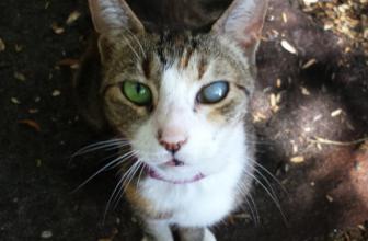 Cataratas en gatos. Lo qué debes saber.