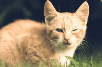 Clamidiosis felina. Causas, síntomas y tratamiento