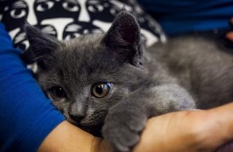 Recuperación y cuidados después de castrar un gato macho.
