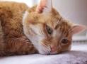 Triaditis felina. Causas, síntomas y tratamiento