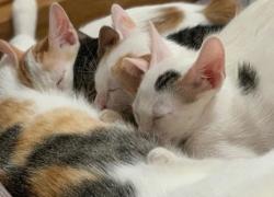 Distocia en las gatas. Causas síntomas y tratamiento