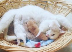Mastitis en las gatas. Signos, causas y tratamiento