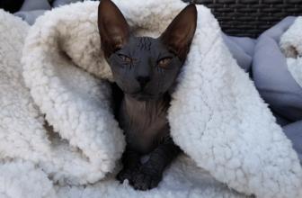 ¿Comprar un gato Sphynx? Ventajas e inconvenientes