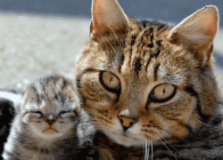 ¿Por qué mi gata jadea después del parto?