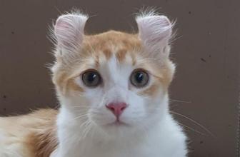 American Curl. Curiosidades de esta raza de gatos