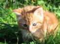 9 datos curiosos de los gatos atigrados naranjas