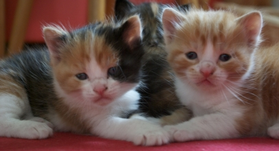 Por qué las gatas cambian de lugar a sus crías