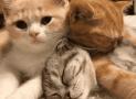 Eclampsia en las gatas. Síntomas, causas y tratamiento