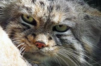 Gato Manul o de Pallas. Un gato que te sorprenderá