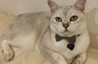 El gato Burmilla. Descubre las características de esta raza de gatos.