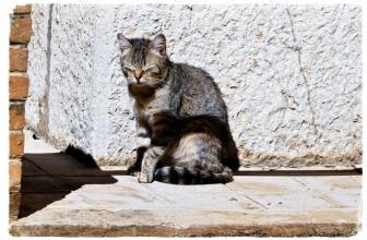 Mi gato cojea después de la vacuna, ¿a qué se puede deber?