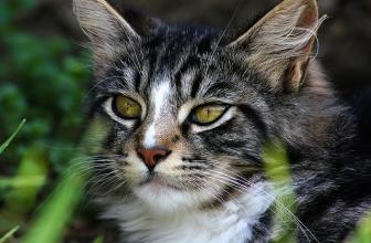 Mi gato tiene tos. Síntomas, causas y tratamiento