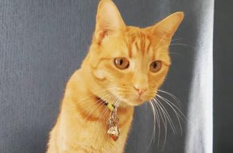 ¿Por qué mi gato mayor come poco y pierde peso?
