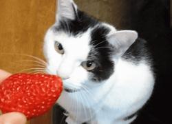 ¿Los gatos pueden comer fresas🍓? Entra y descúbrelo