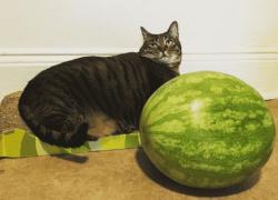 ¿Los gatos pueden comer sandía?🍉 Lee y compruébalo