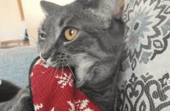 ¿Por qué tu gato chupa lana y otros tejidos? Aquí te lo explico