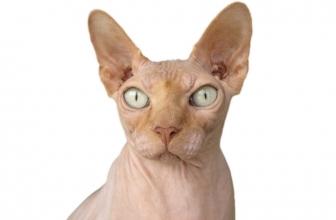 TOP Mejores 9 razas de gatos hipoalergénicos. Guía 2019