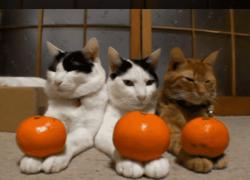 ¿Crees que los gatos pueden comer naranjas🍊? Aquí la respuesta
