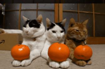 ¿Crees que los gatos pueden comer naranjas🍊? Aquí la respuesta.
