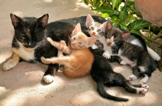 Crecimiento y desarrollo del gatito en las seis primeras semanas de vida