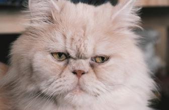 Lo que deberías saber sobre el gato Persa