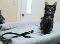 Consejos para la primera visita de tu gato al veterinario